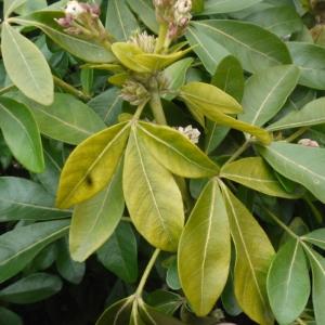 Photographie n°106617 du taxon Choisya ternata Kunth [1823]