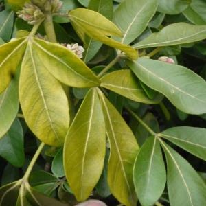 Photographie n°106618 du taxon Choisya ternata Kunth [1823]
