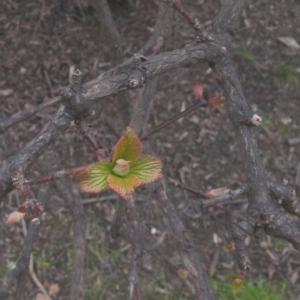 Photographie n°106624 du taxon Viburnum farreri Stearn [1966]