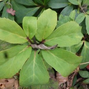 Photographie n°106644 du taxon Helleborus niger L. [1753]