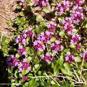 - Thymus praecox subsp. praecox