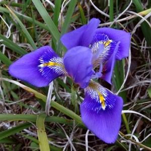 Iris unguicularis Poir. (Iris d'Algérie)