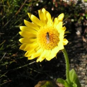 Photographie n°106944 du taxon Doronicum clusii (All.) Tausch [1828]