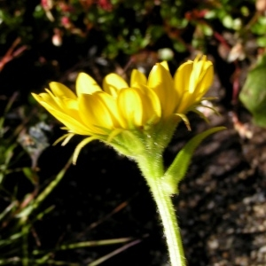 Photographie n°106945 du taxon Doronicum clusii (All.) Tausch [1828]