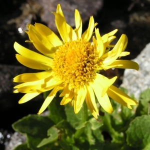 Doronicum clusii (All.) Tausch (Doronic de Clusius)