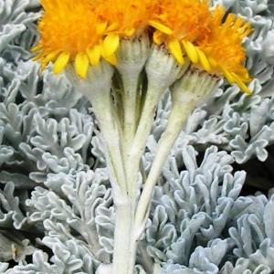 Photographie n°107055 du taxon Jacobaea leucophylla (DC.) Pelser [2006]