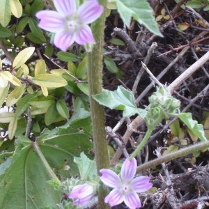 Photographie n°107086 du taxon Lavatera cretica L.