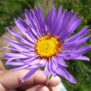 - Aster sp