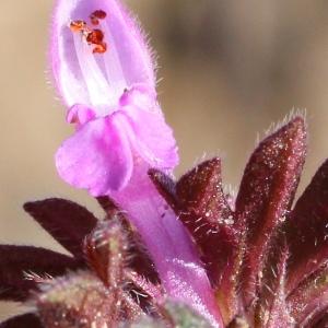 Lamium hybridum Vill. (Lamier découpé)