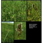 Scirpus planifolius Grimm (Blysme comprimé)