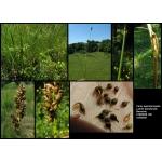 Carex appropinquata Schumach. (Laiche à épis rapprochés)