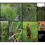 Carex buxbaumii Wahlenb. (Laiche de Buxbaum)