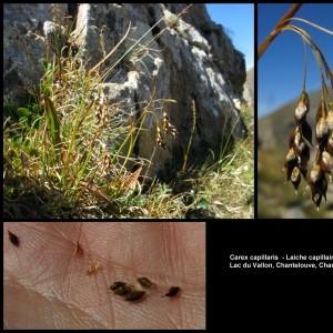 - Carex capillaris L. [1753]