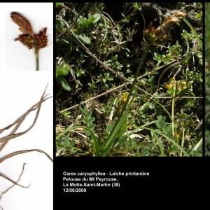 - Carex caryophyllea Latourr. [1785]