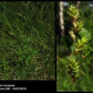 - Carex curta Gooden. [1794]