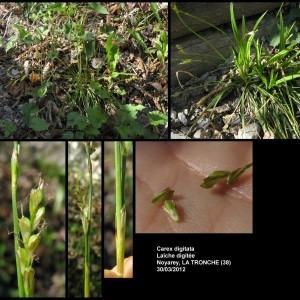 - Carex digitata L.