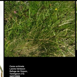 Photographie n°107251 du taxon Carex echinata Murray