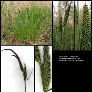 Photographie n°107252 du taxon Carex elata All. [1785]