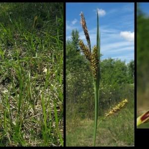 Photographie n°107256 du taxon Carex flacca Schreb. [1771]