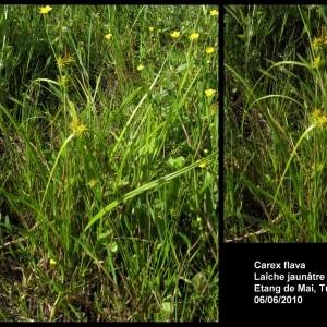 Photographie n°107257 du taxon Carex flava L. [1753]