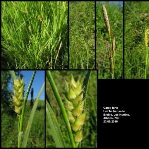 - Carex hirta L.