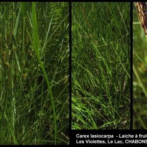 - Carex lasiocarpa Ehrh.