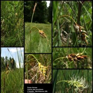 - Carex limosa L. [1753]