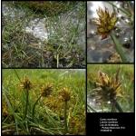 Carex maritima Gunnerus (Laiche à feuilles de jonc)