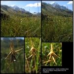Carex microglochin Wahlenb. (Laiche à petites arêtes)