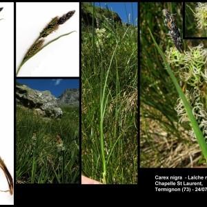 - Carex nigra (L.) Reichard [1778]