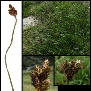 - Carex ovalis Gooden.