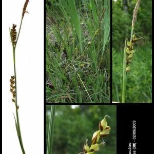 - Carex panicea L. [1753]