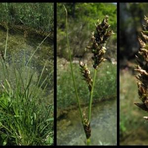 - Carex paniculata L.