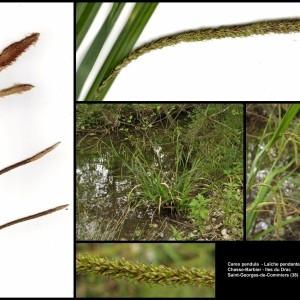 - Carex pendula Huds. [1762]