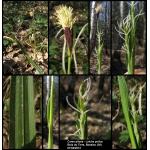 Carex pilosa Scop. [1772] (Laiche poilue)