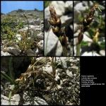 Carex rupestris All. [1785] (Laiche des rochers)