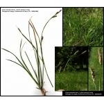 Carex sempervirens Vill. (Laiche sempervirente)