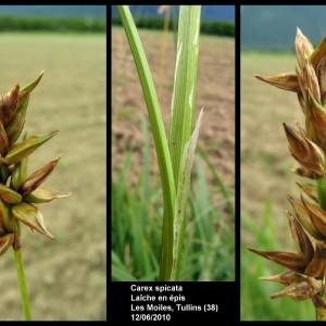 Photographie n°107307 du taxon Carex spicata Huds.