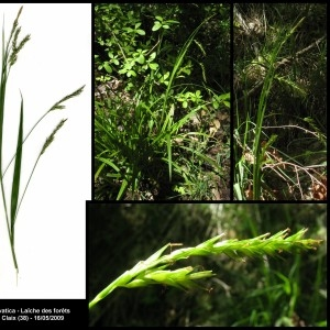 Photographie n°107308 du taxon Carex sylvatica Huds. [1762]