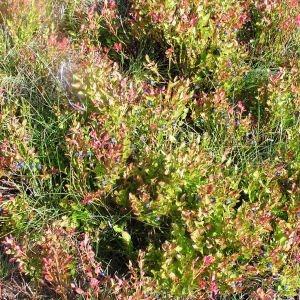 Photographie n°107367 du taxon Vaccinium myrtillus L.