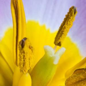 Photographie n°107371 du taxon Tulipa L. [1753]