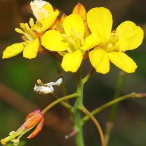Brassica fruticulosa Cirillo (Chou ligneux)