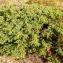 Alain Bigou - Juniperus communis L. [1753]