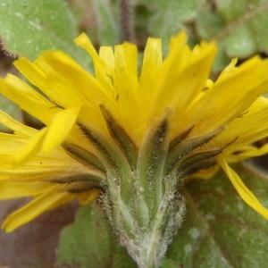 Photographie n°107523 du taxon Crepis sancta (L.) Bornm. [1913]