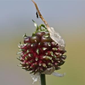 - Allium sphaerocephalon L. [1753]