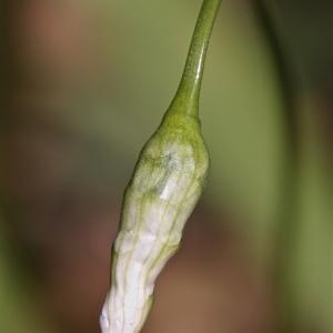 - Allium neapolitanum Cirillo