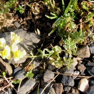 Linaria propinqua Boiss. & Reut. [1852] (Linaire voisine)