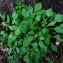 Bertrand BUI - Claytonia perfoliata Donn ex Willd. [1798]