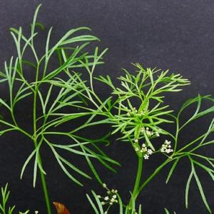 - Cyclospermum leptophyllum (Pers.) Sprague ex Britton & Wilson [1925]