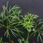 Bertrand BUI - Cyclospermum leptophyllum (Pers.) Sprague ex Britton & Wilson [1925]